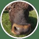 Calf Pre-Conditioning Program